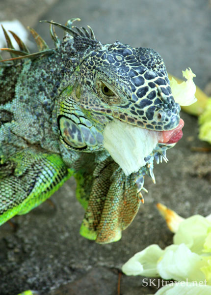 Young green iguana eating a lettuce leaf. Popoyote Lagoon, Playa Linda, Ixtapa, Mexico.