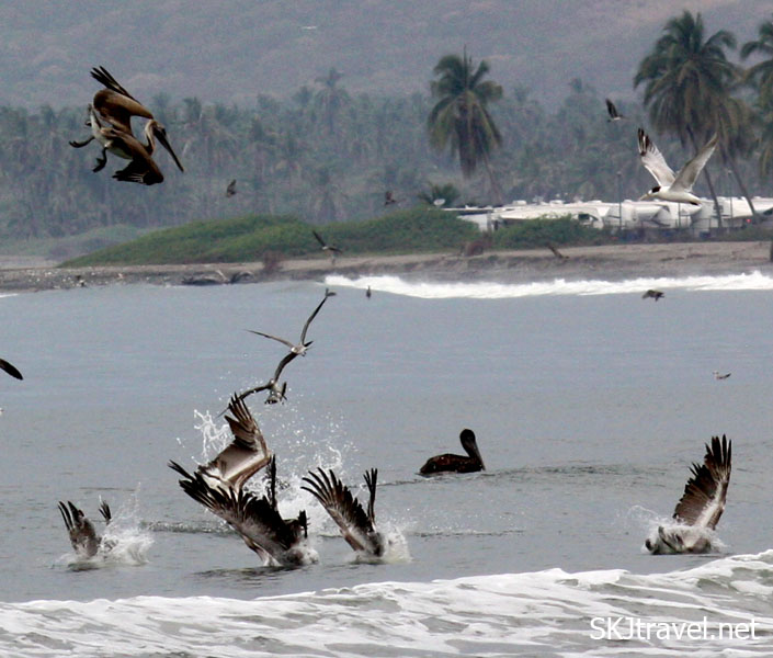 Seagulls diving into the ocean for fish. Playa Linda, Ixtapa, Mexico.