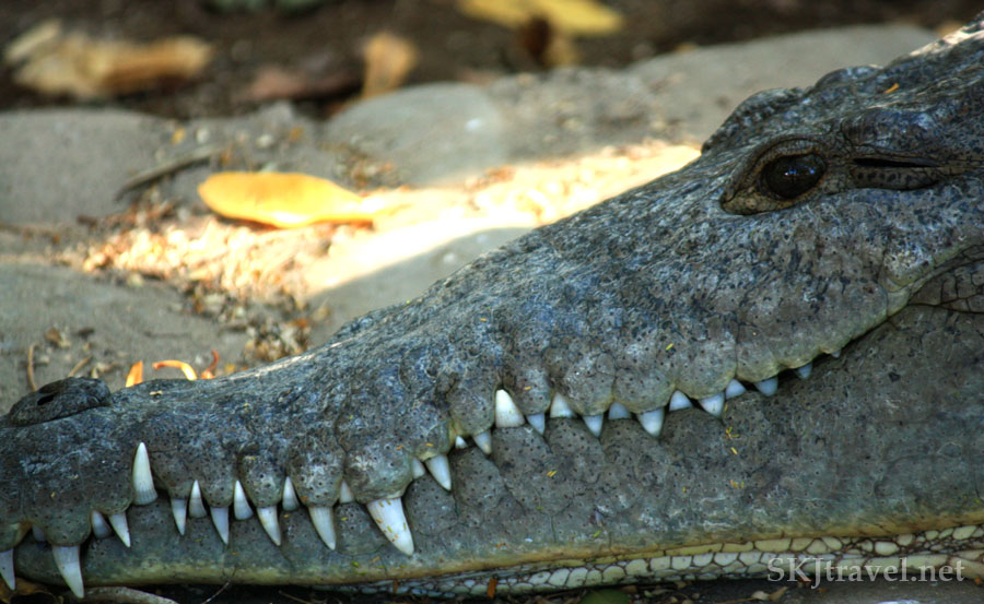Close-up shot of a crocodile's mouth, his sharp teeth laced together outside his mouth. Popoyote Lagoon, Playa Linda, Ixtapa, Mexico.