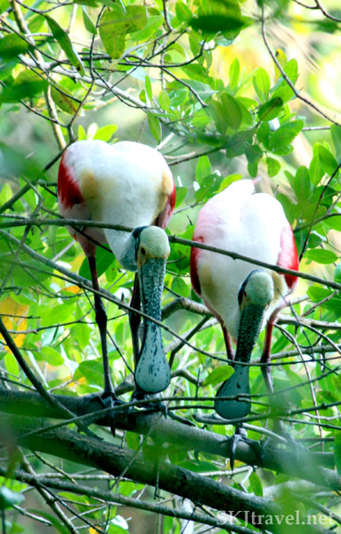 Two roseate spoonbill birds standing next to each other on a tree branch, eating. Popoyote Lagoon, Playa Linda, Ixtapa, Mexico.