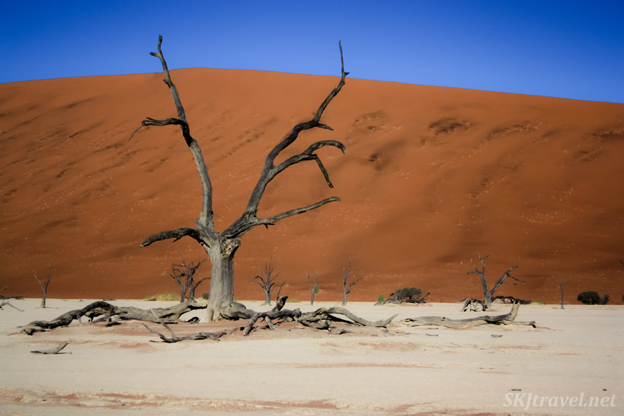 Skeleton trees of the Dead Vlei, Sossusvlei, Namibia, curved like fingers pinching together.