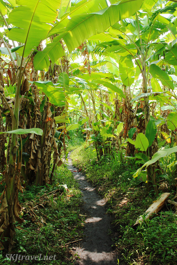 Walking through banana fields near Fort Portal, Uganda.