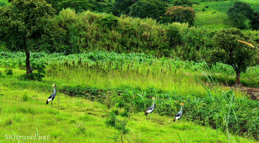 Wild gray crowned cranes walking through fields near Fort Portal, Uganda.