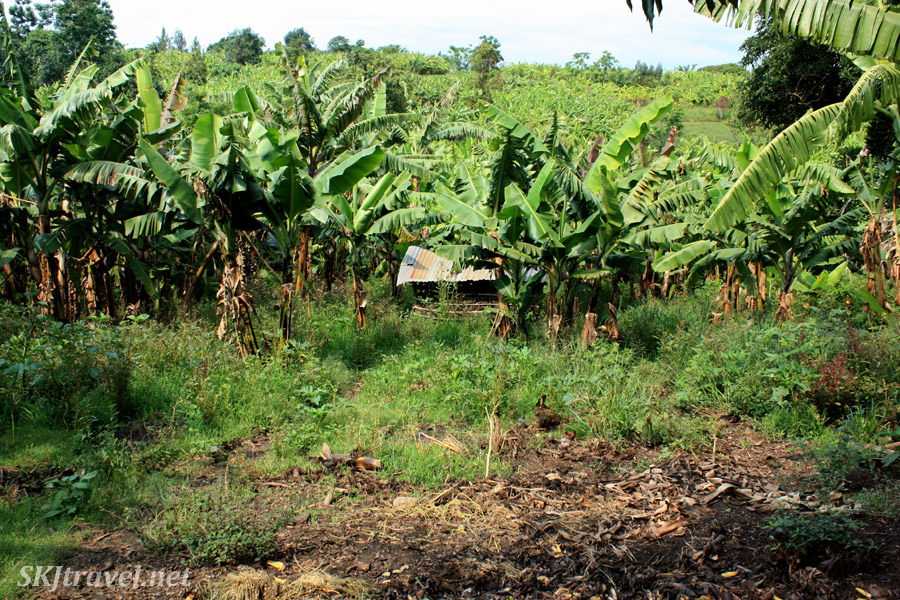 Hut among the banana fields where the bananas are ripened by steaming them in the ground to make liquor. Fort Portal, Uganda.