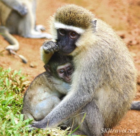 Vervet monkey mother hugging her baby. Uganda Wildlife Education Center.