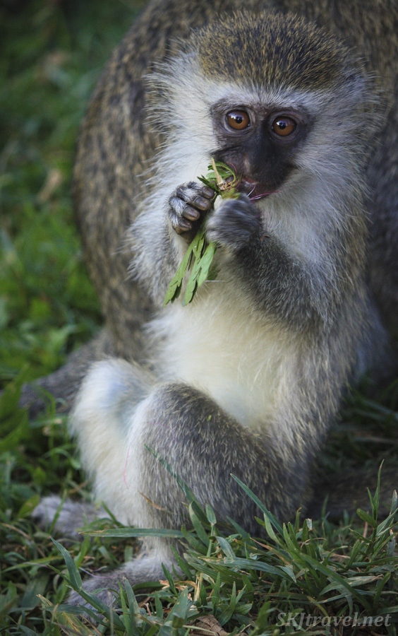 Nom nom nom ... vervet monkey munching leaves. Uganda Wildlife Education Center.