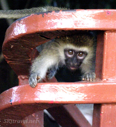 Vervet monkey toddler playing peekaboo through the railing at Uganda Wildlife Education Center.