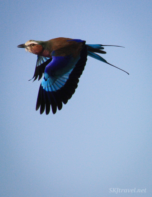 Lilac breasted roller in flight against a blue sky, Etosha National Park, Namibia.