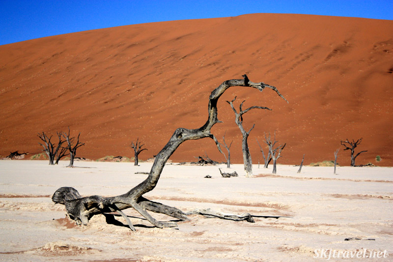 Dead tree in curving shape, the dead vlei in Sossusvlei NP, Namibia.