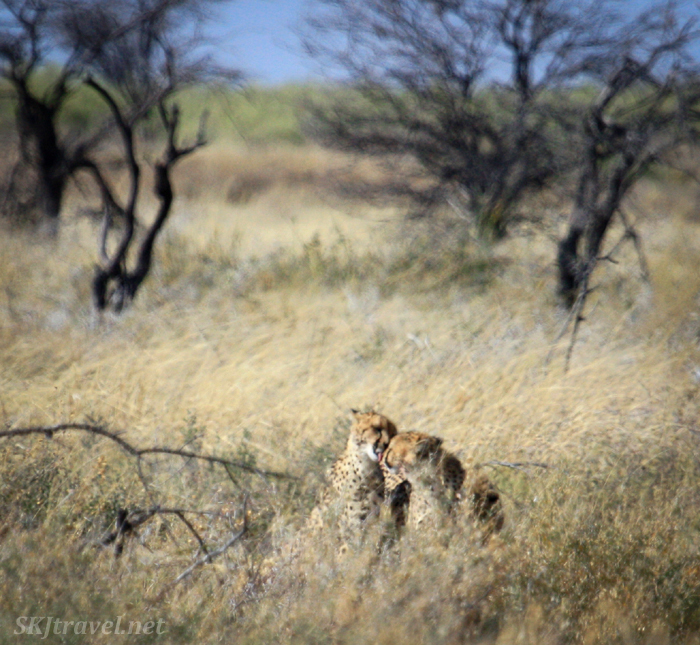 Cheetah licking blood off his brother's face after a meal. Etosha National Park, Namibia.