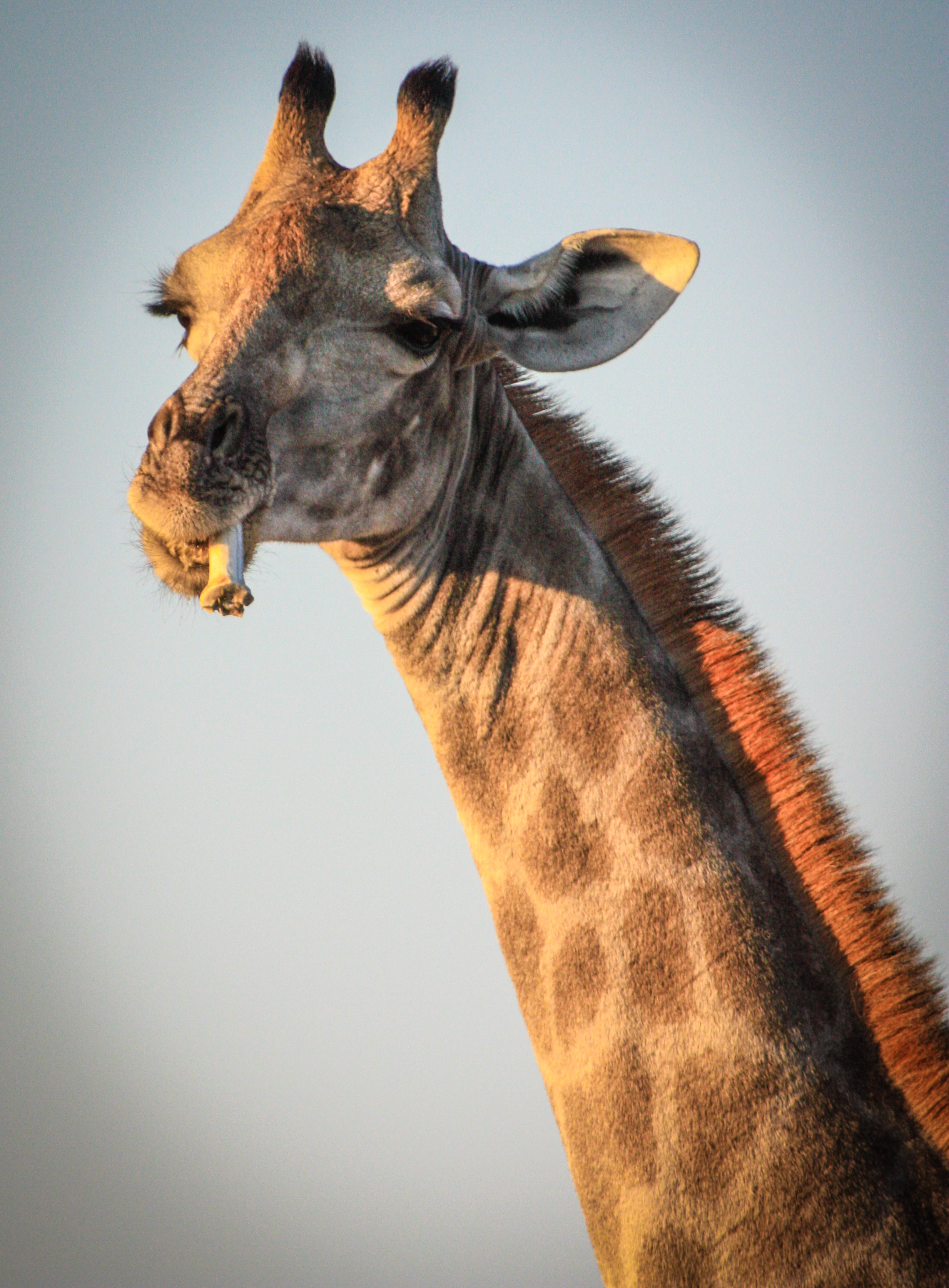 Giraffe sucking on a piece of animal bone - osteophagia. Etosha National Park, Namibia.