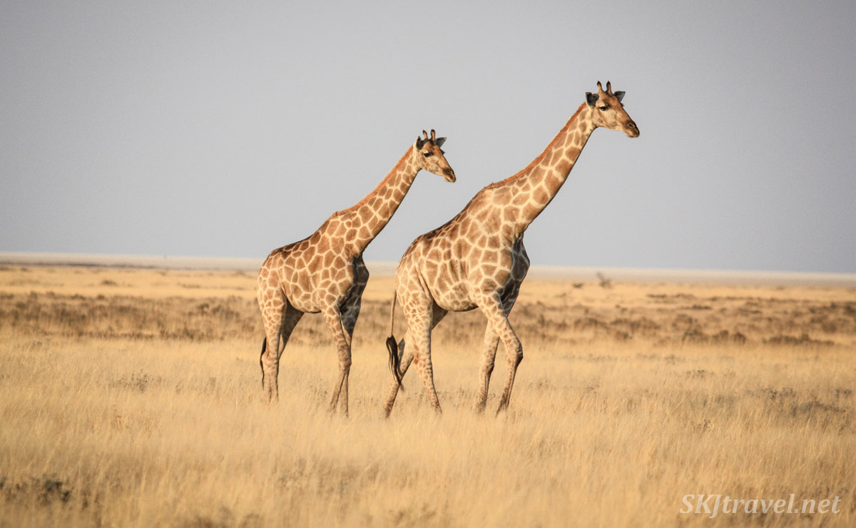 Giraffe pair crossing the plains of Etosha national park, Namibia.