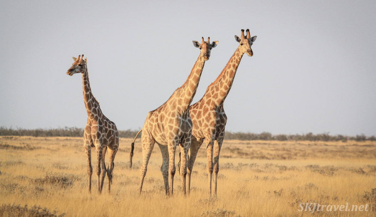 Three giraffes checking me out on the plains of Etosha National Park, Namibia.