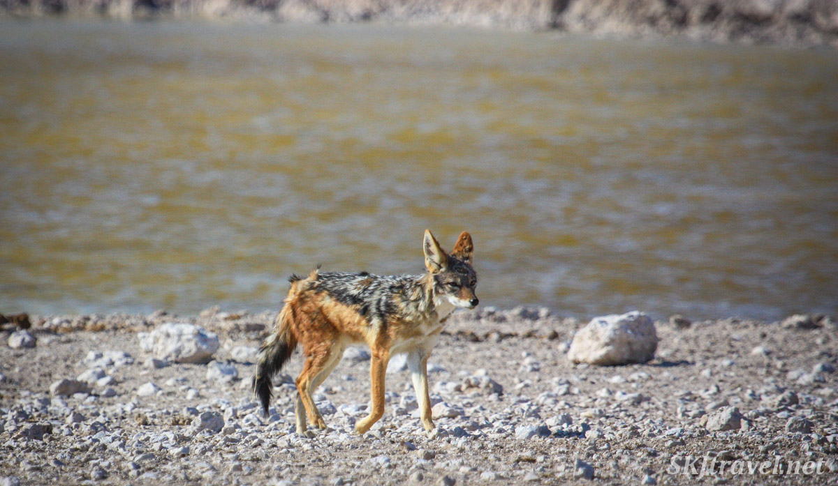 Black-backed jackal trotting along a water hole, Etosha national park, Namibia.
