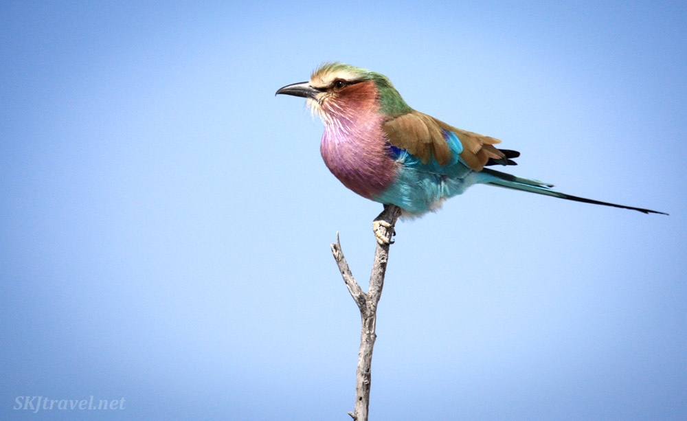 Lilac breasted roller perched atop a tree branch. Etosha national park, Namibia.