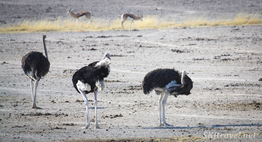Trio of ostriches walking to a water hole, Etosha national park, Namibia.