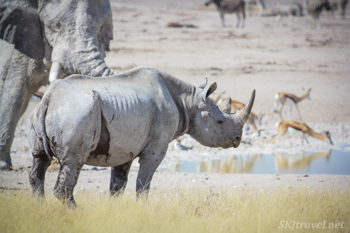 Injured black rhino near a watering hole in Etosha national park, Namibia.