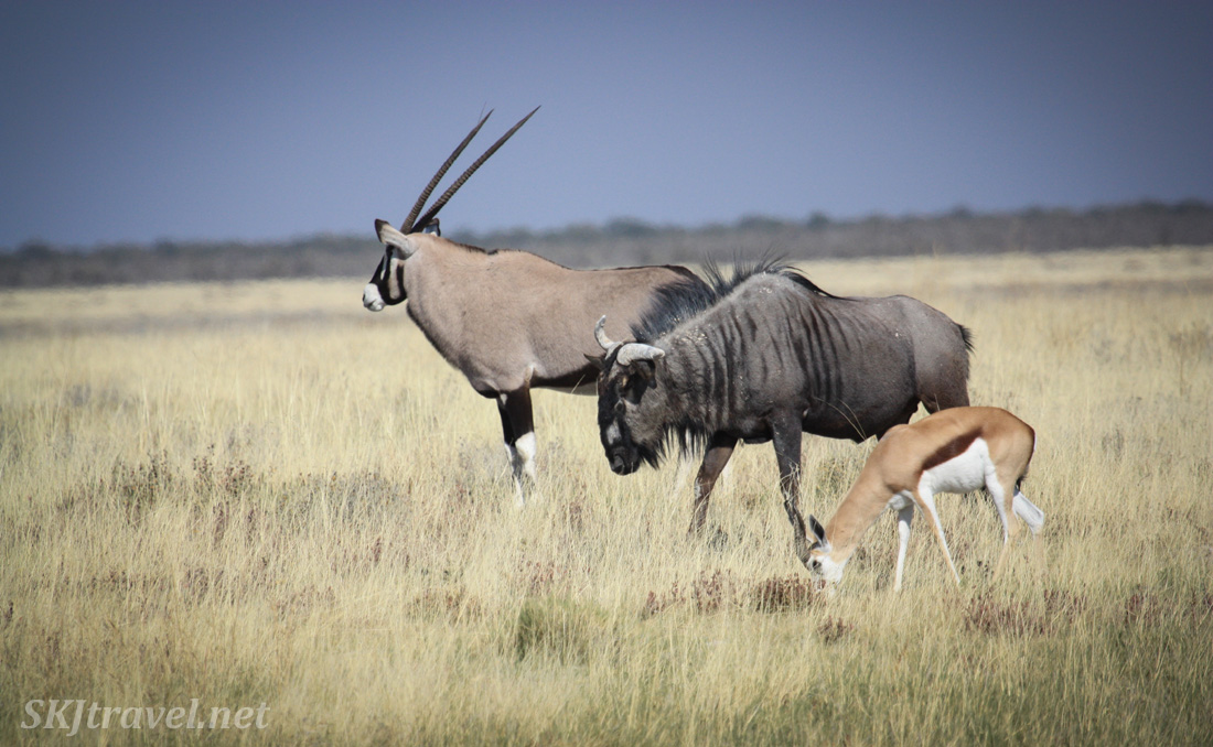 Three antelope species - an oryx, a wildebeest and a springbok - eating side by side on the grasslands of Etosha national park, Namibia.