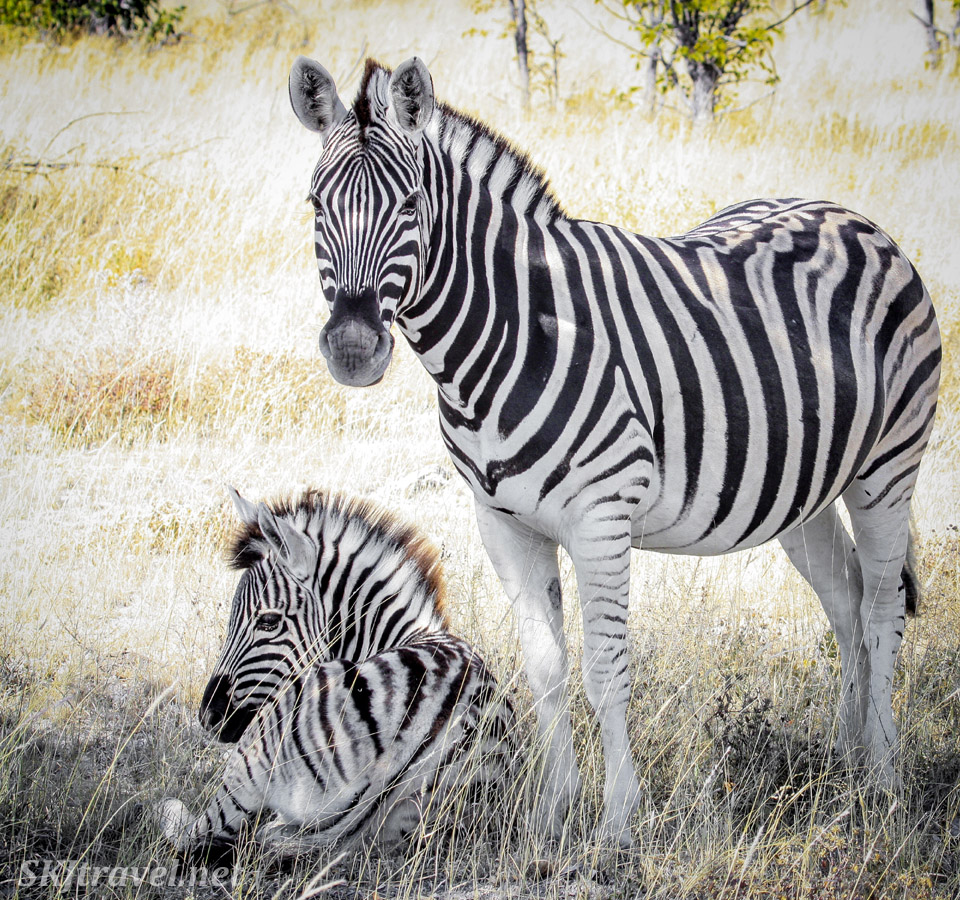 Mother zebra with an older foal. Etosha national park, Namibia.