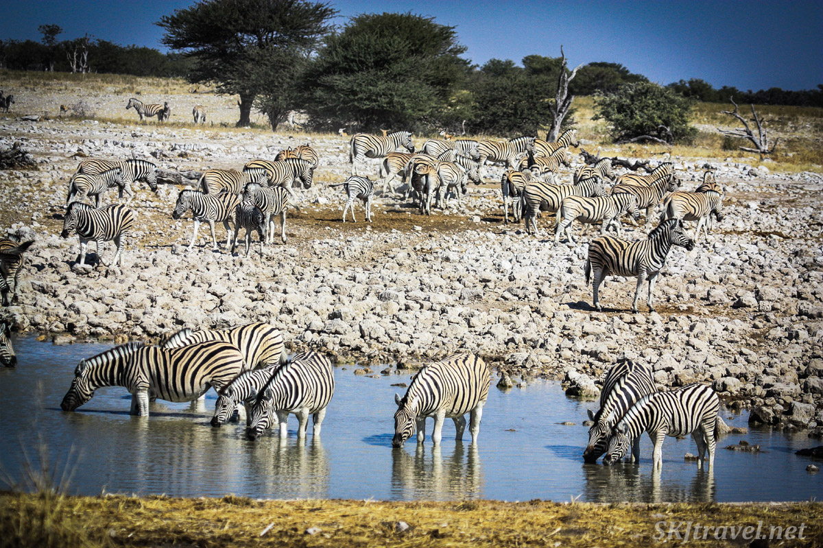 Chaotic gathering of zebras at a water hole in Etosha national park, Namibia.