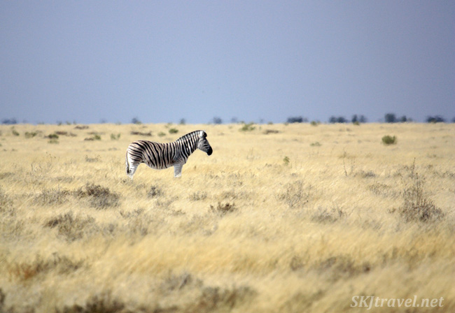 Lone zebra on the plains of Etosha NP, Namibia.