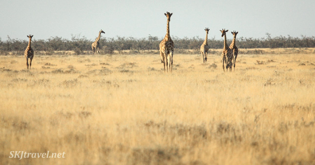 Giraffes approaching across the plains of Etosha NP, Namibia.