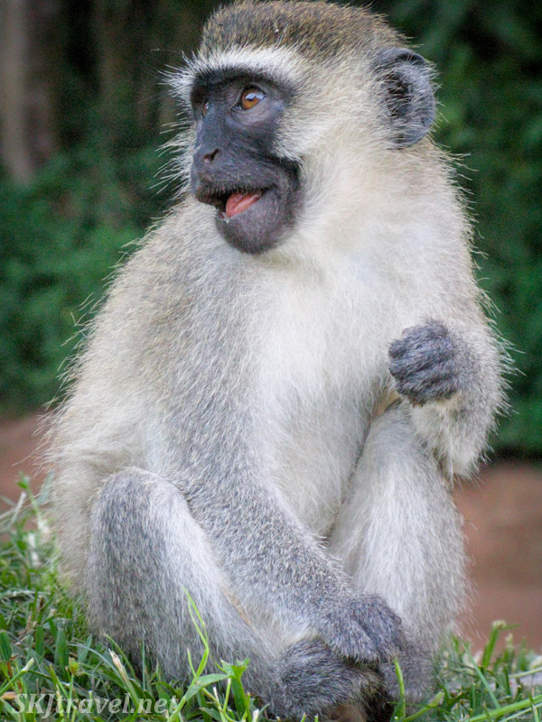 Vervet  monkey with something to say. Uganda.