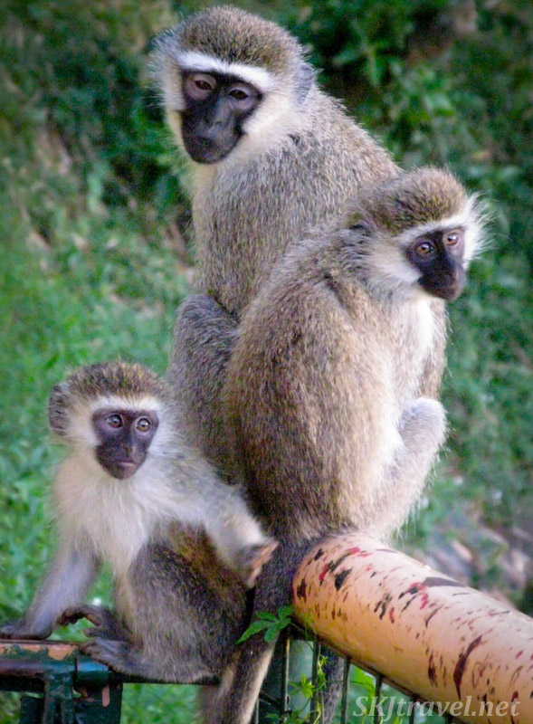 Trio of vervet monkeys hanging out together. Uganda.