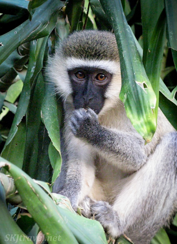 Vervet monkey successfully keeps his mango stash to himself. Uganda.