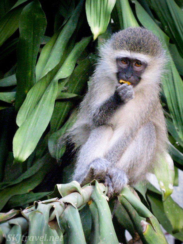 Vervet enjoying a piece of mango in seclusion. Uganda.