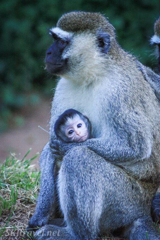 Vervet infant with mother. Uganda.