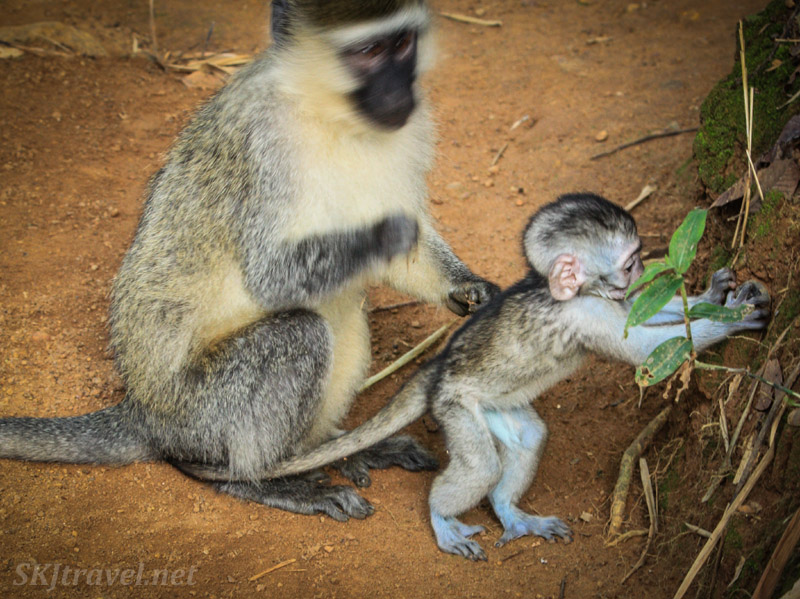 Blue skinned baby vervet testing out his finger strength on a pile of dirt. Uganda.
