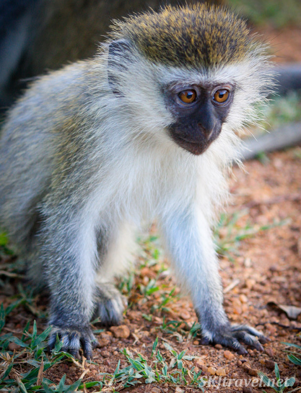 Vervet monkey toddler. Uganda.
