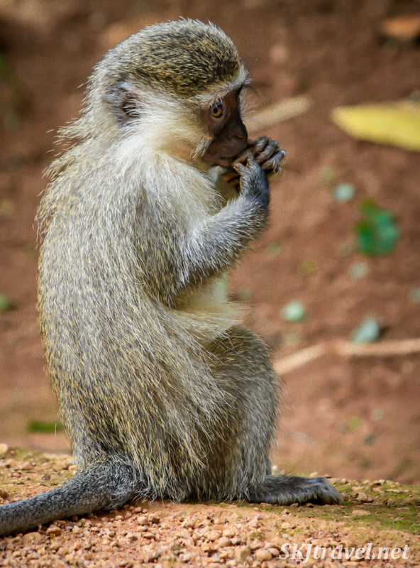 Vervet monkey looking forlornly thoughtful. Uganda.