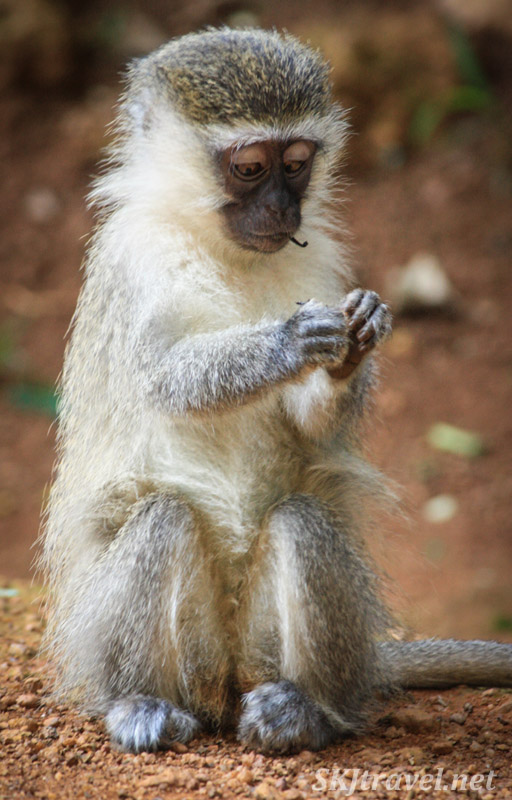 Vervet monkey picking apart something he found on the ground to eat. Uganda.