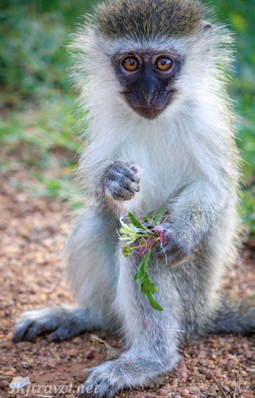 Vervet with a handful of flowers to eat. Uganda.