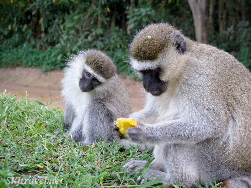Small vervet monkey covets a piece of mango and older monkey has. Uganda.