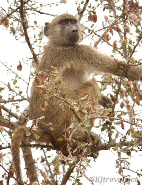 baboon in trees