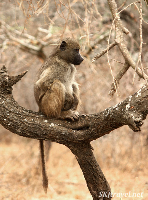 baboon sitting tree branch