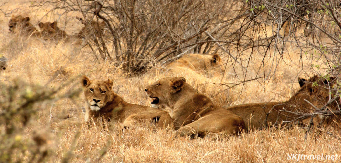 group of female lions in the weeds