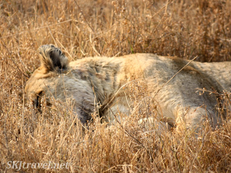 lioness sleeping in the weeds