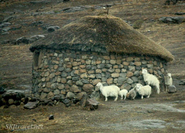 sheep huddling around a stone rondeval. Lesotho