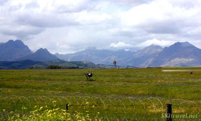 A pair of ostriches running across an open field with mountains in backgroun.