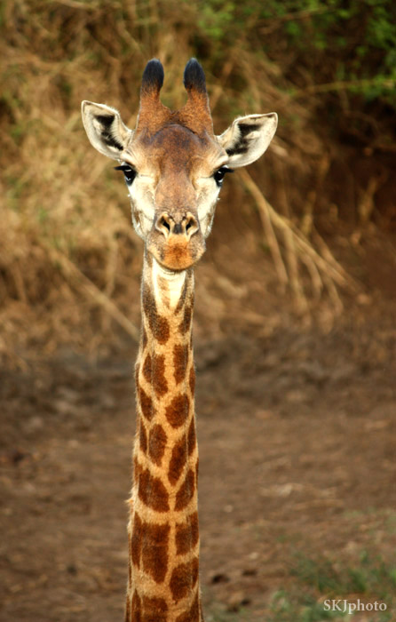 Head and neck of young giraffe