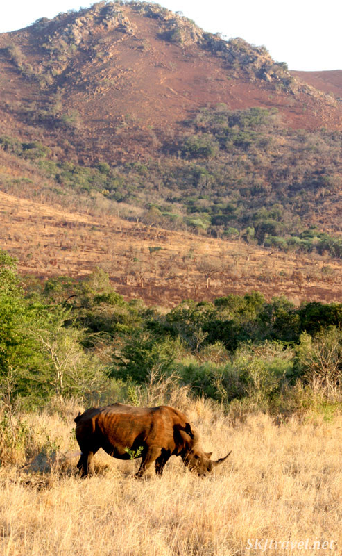 Lone rhino in a field below a hill at sunset.
