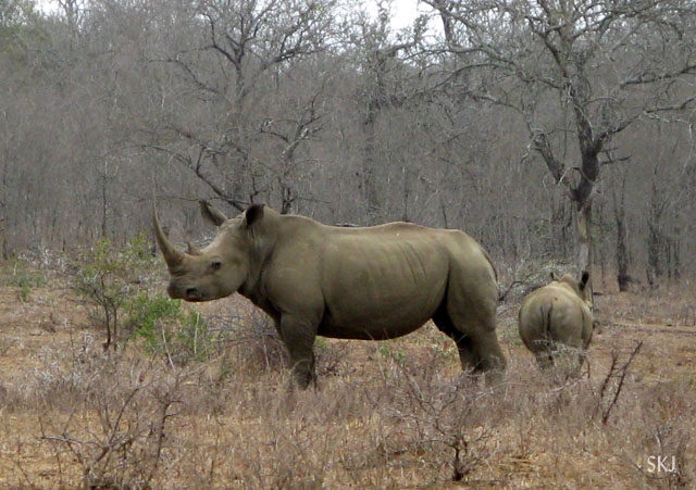 White rhino at close range.