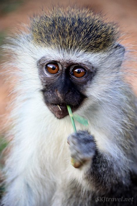 Vervet monkey munching a blade of grass. Uganda.
