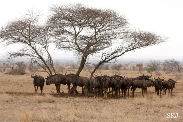 group of wildebeest under an acacia tree