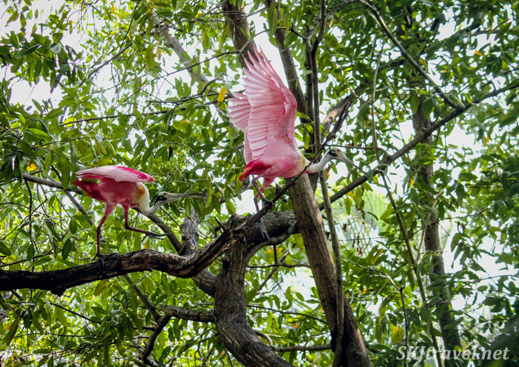 Roseate spoonbills in flight in dense mangrove foliage, Popoyote Lagoon at Playa Linda, Ixtapa, Mexico.