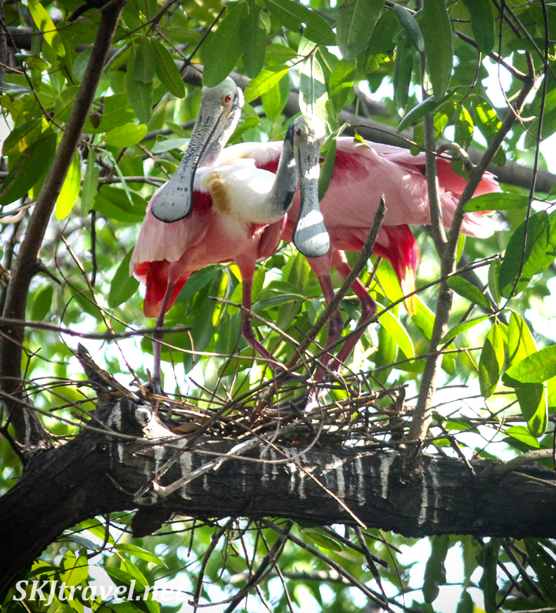 Roseate spoonbills putting together a new nest in the dense trees of Popoyote Lagoon at Playa Linda, Ixtapa, Mexico. cocodrilario crocodile reserve
